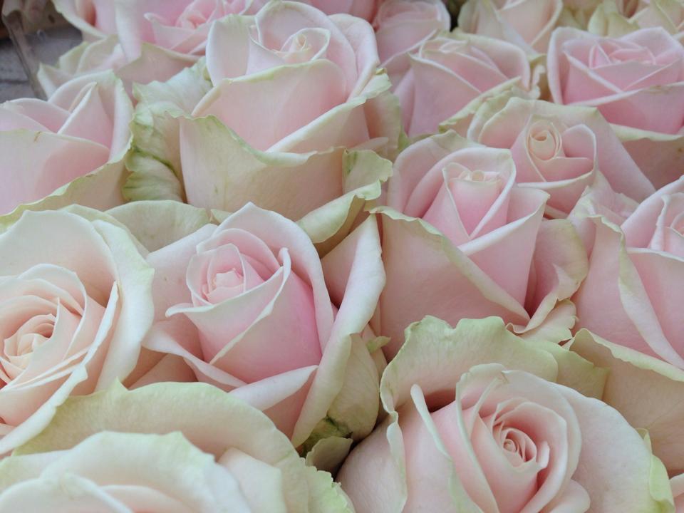 Roses Sweetpea Blandford