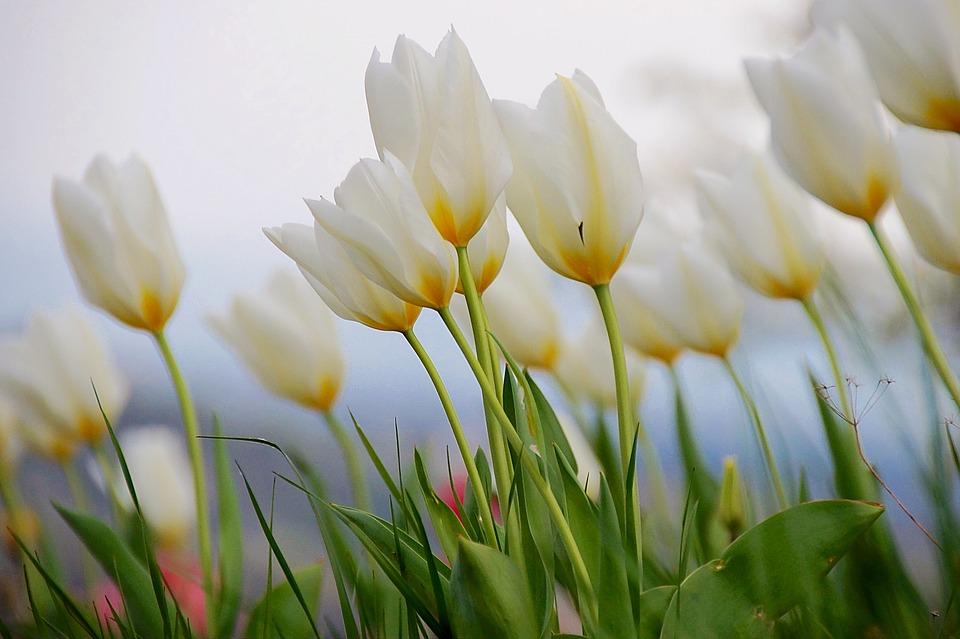 tulip-2405043_960_720.jpg