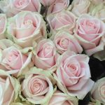 Classic Sweet Avalanche Pink Roses